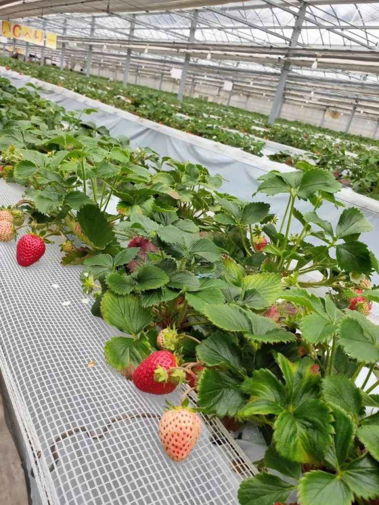 いちご狩りたくさんの苺の苗