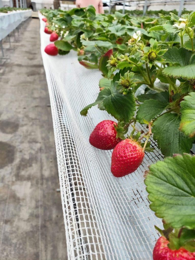 いちご狩りたくさんの苺