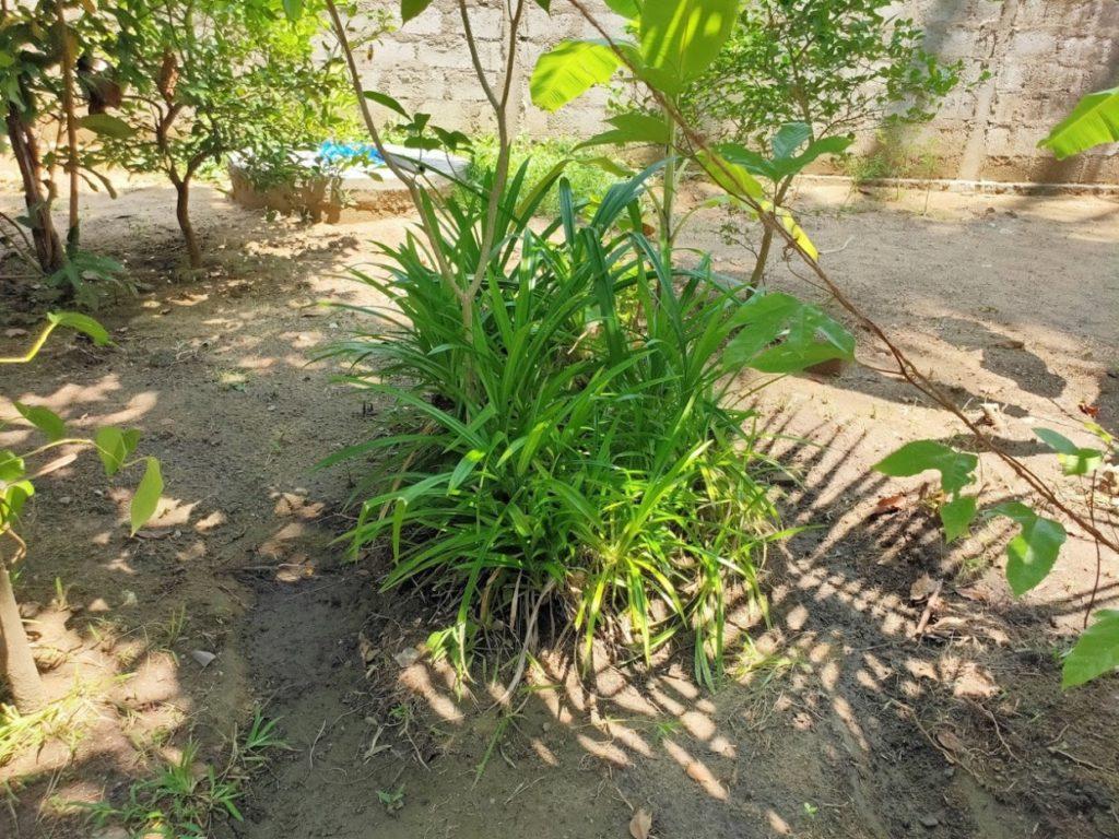 araniホームステイ庭の植物5