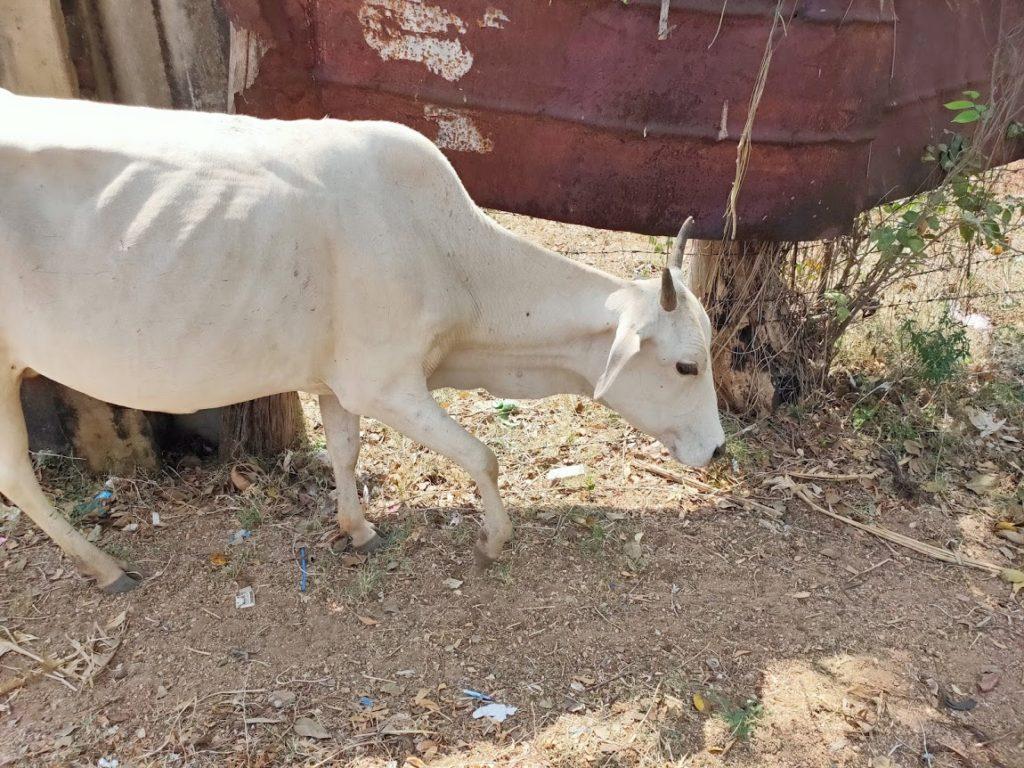 ニラヴェリの道の牛