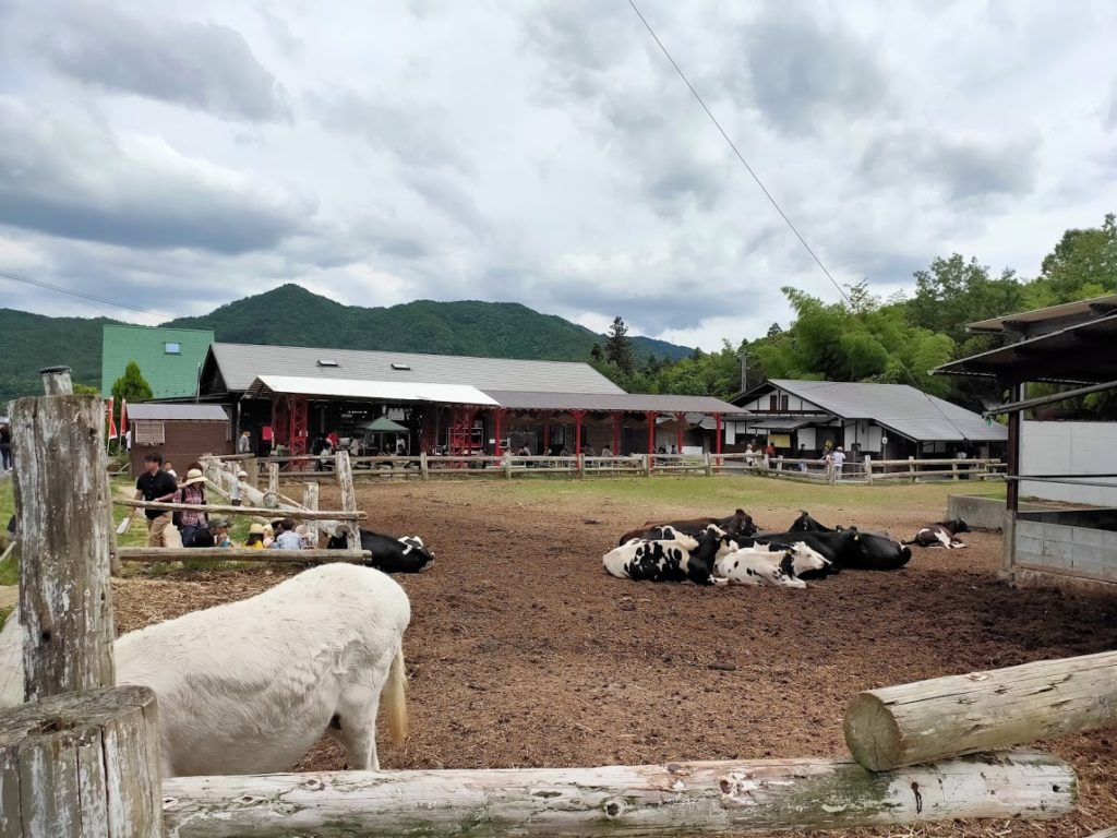 上ノ原牧場の寝ている牛達