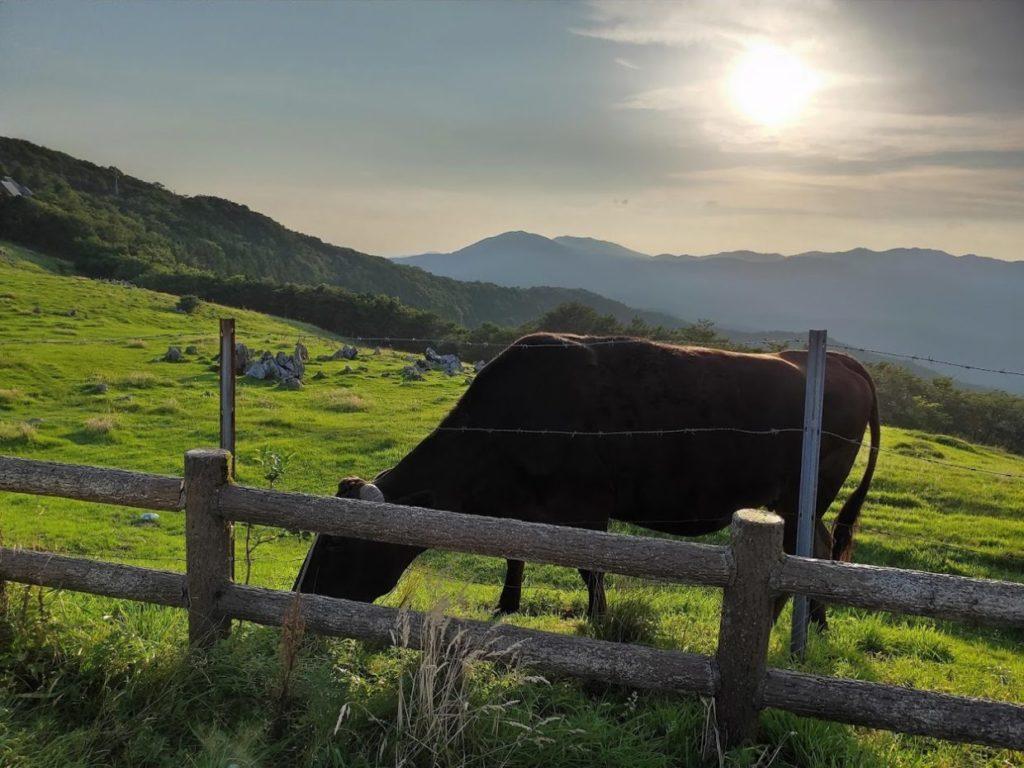 姫鶴平キャンプ場の牛と太陽