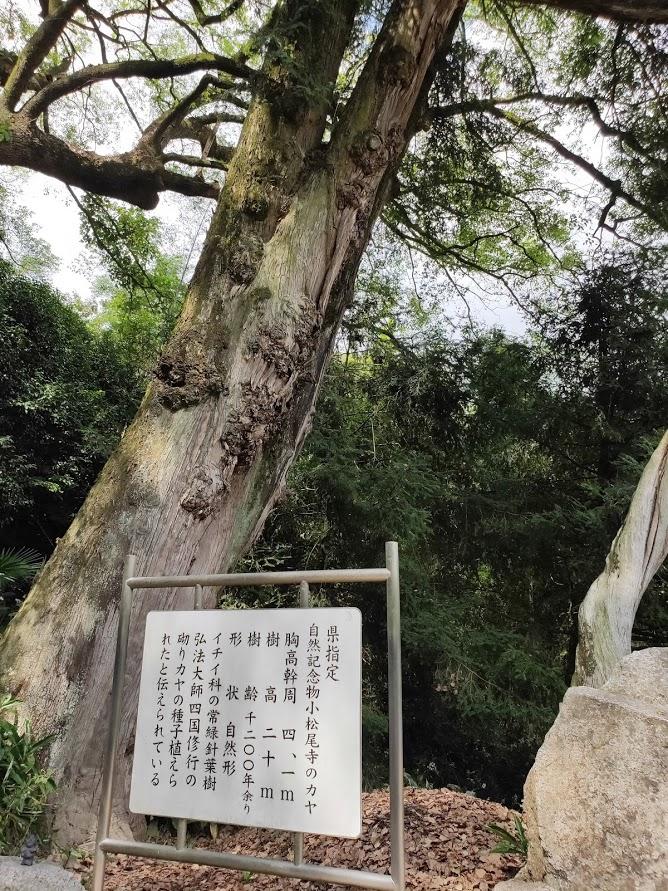 67番大興寺の巨木の説明