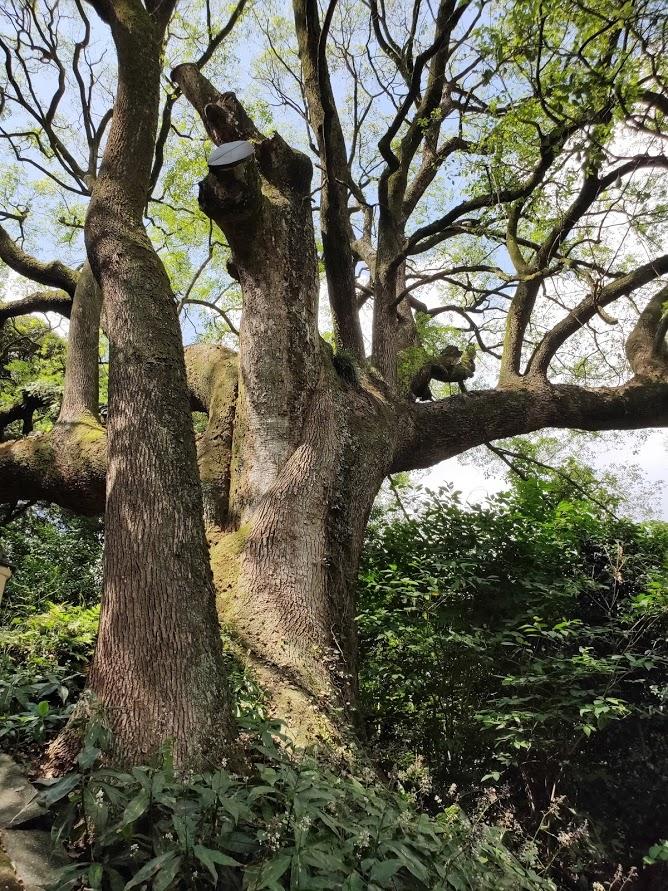 67番大興寺の古い巨木