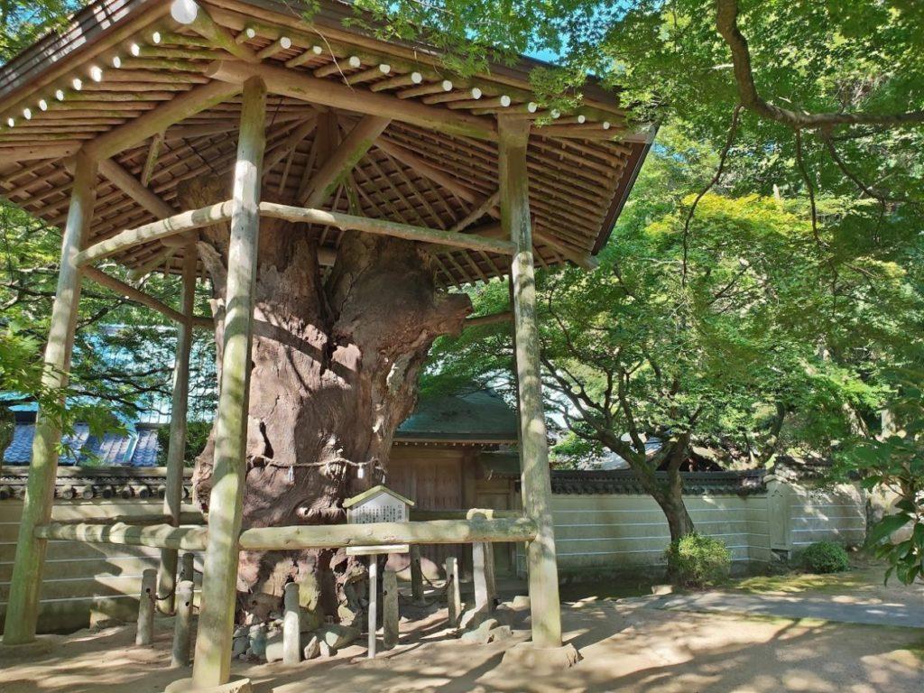 82番根香寺の古い巨木