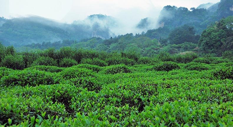 ジャスミン茶の茶葉畑