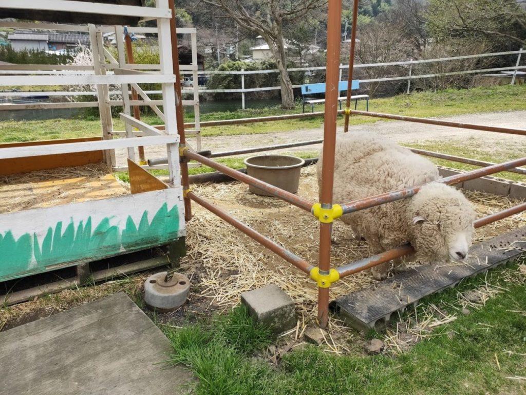 塩江ふじかわ牧場の羊1
