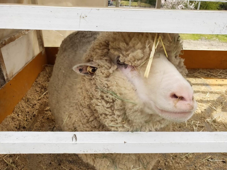 塩江ふじかわ牧場の羊2