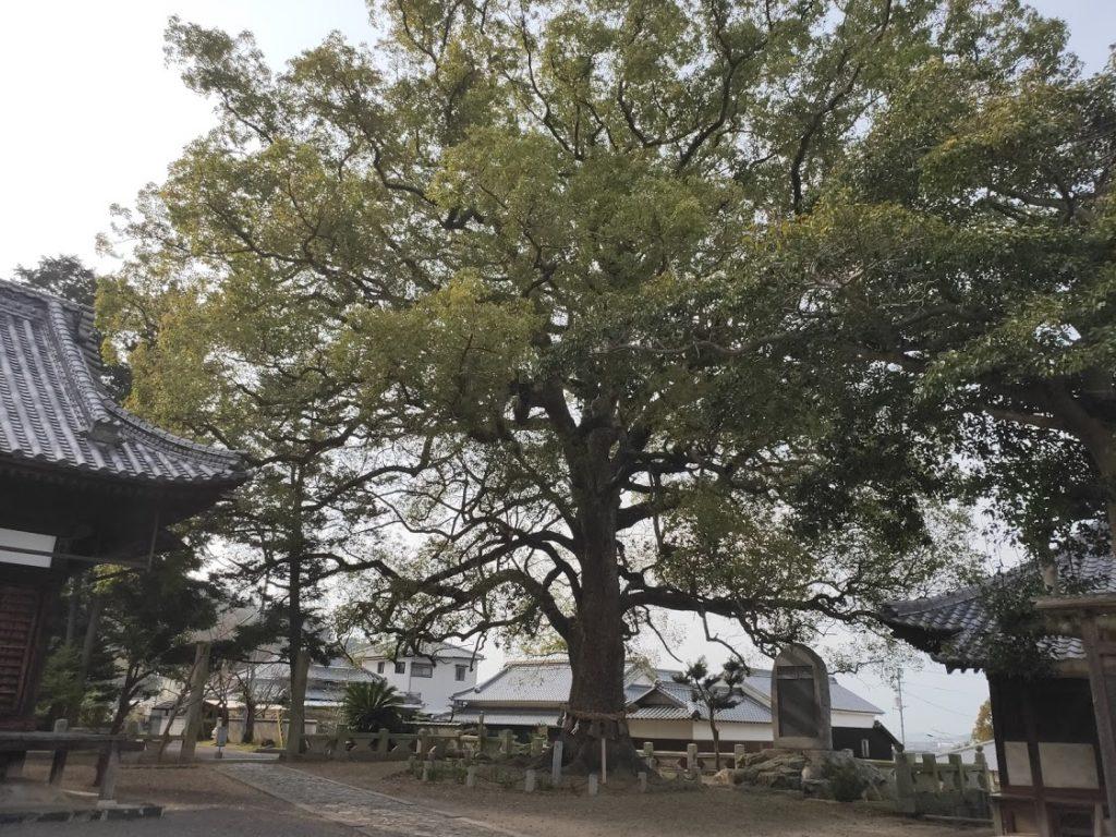 79番天皇寺の巨木