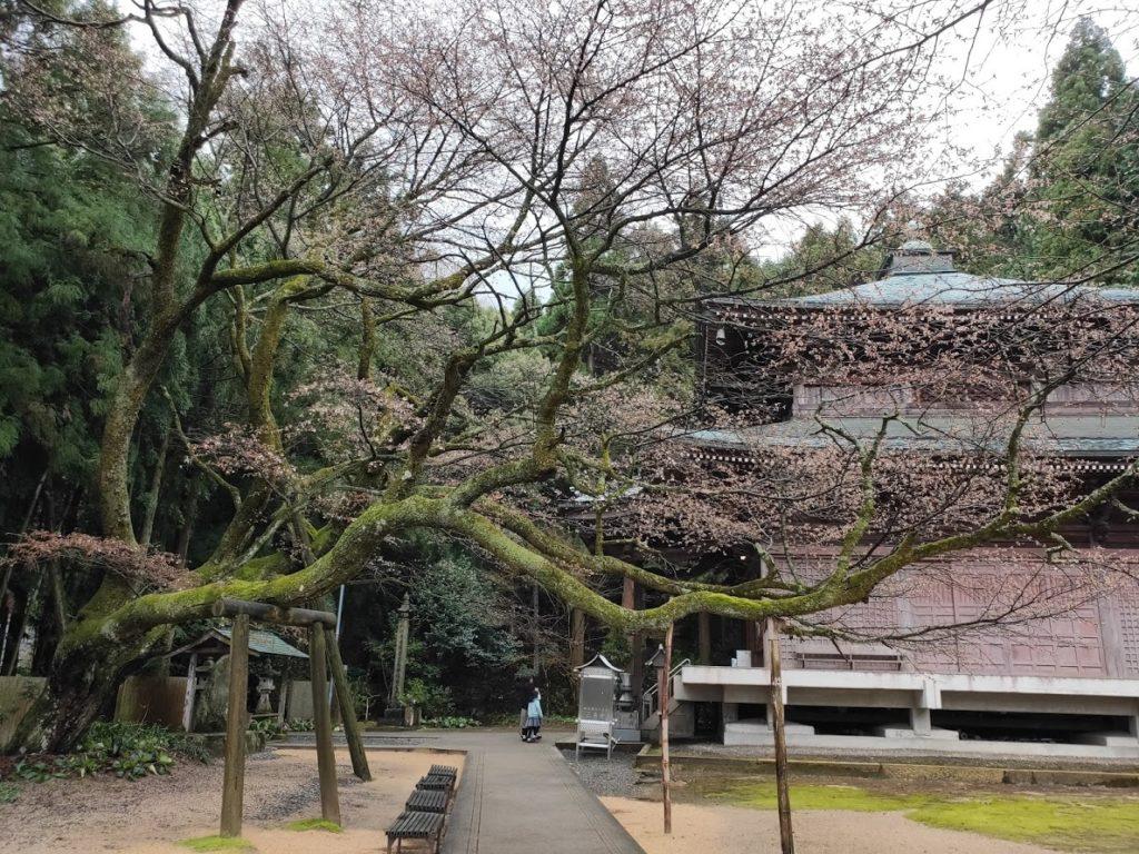 65番三角寺の大木の桜