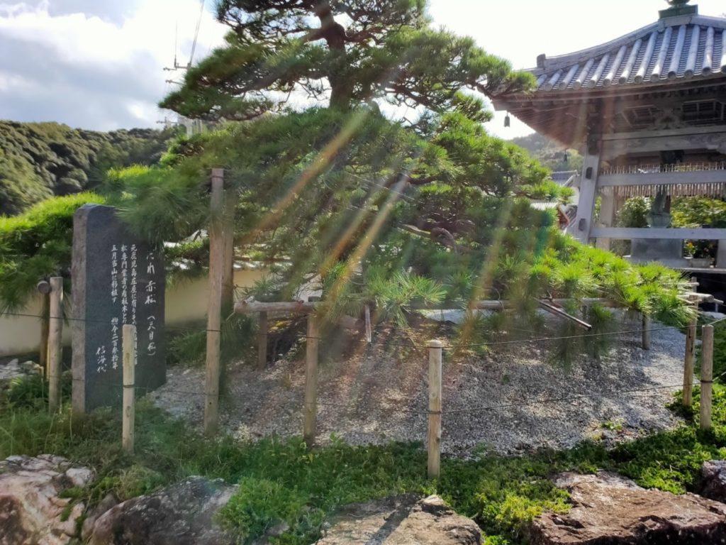 34番種間寺の赤松